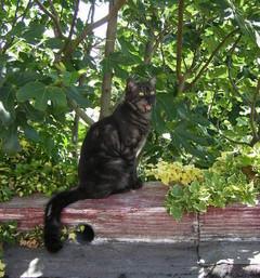 insuffisance rénale chez les chats, Aloé Véra et Spirulysat.